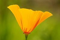 Californian poppy, California poppy, gold poppy (Eschscholzia californica), single blossom