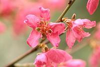 peach (Prunus persica), blooming branch