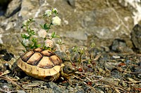 Eurasian Spur-thighed tortoise, Mediterranean spur-thighed tortoise, Common tortoise, Greek tortoise (Testudo graeca ibera, Testudo ibera), juvenile t...