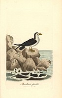 Northern fulmar, Fulmarus glacialis. Handcoloured copperplate drawn and engraved by George Graves from his own British Ornithology, Walworth, 1821. Gr...
