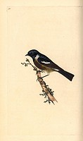 Stonechat, Saxicola rubicola. Handcoloured copperplate drawn and engraved by Edward Donovan from his own Natural History of British Birds, London, 179...