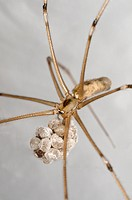 Close-up of a female Cellar spider or Daddy long-legs spider (Pholcus phalangioides) carrying her egg cluster on a bathroom ceiling in a house in Norf...