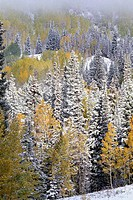 Aspens and Firs Blanketed with Snow