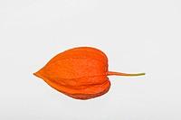 Physalis alkekengi mit lampionartigen Blütenkelch der zur Reifezeit intensiv gefärbt ist.