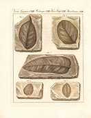 Petrified and fossil leaves found near Rochesauve, southern France, 1807. Handcoloured copperplate engraving from Bertuch's Bilderbuch fur Kinder (Pic...