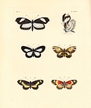 Crisia mimic white, Dismorphia crisia 1,2, Drury's delight, Mesoxantha ethosea 3,4, and bonasia acraea, Acraea bonasia 5,6, dorsal, ventral. Handcolou...
