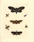 Speckled black cicada, Gaeana maculata 1, Platypleura capensis 2, Lystra lanata 3, Andrena thoracica 4, Acrotelsa collaris 5, hoverfly, Milesia virgin...