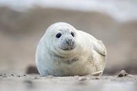 Grey seal, Halichoerus grypus, Helgoland, North Sea, Germany / Kegelrobbe, Halichoerus grypus, Helgoland, Nordsee, Deutschland