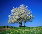 nature, seasons, spring, tree, freestanding, blossoming of a tree, white blooms, dandelion meadow, Hessian Highlands, Hesse. Germany.