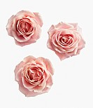 Rose, Rosa, Ariel view of three pink roses cut out on a white background.