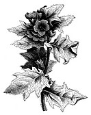stinking nightshade or black henbane