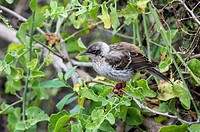 Galapagos Mockingbird (Nesomimus parvulus) suffering from avian or bird pox, Santa Cruz Island, Galapagos, Ecuador, Unesco World Heritage Site
