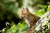 Red Fox, vulpes vulpes, Cub standing at Den Entrance, Normandy.