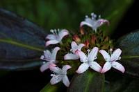 Flowers. Image taken at Kampung Skudup, Sarawak, Malaysia.