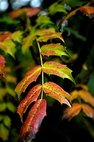 Leaves, Multicolored