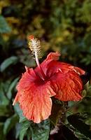 Hibiscus or Rose Mallow (Hibiscus sp), Malvaceae, Tahiti, French Polynesia.