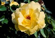 Rose (Rosa Sunsprite), Rosaceae.