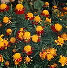 French Marigold (Tagetes patula Tiger Eye or Tagetes lunulata Tiger Eye), Asteraceae.