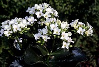 Madagascar Widow's-thrill (Kalanchoe blossfeldiana), Crassulaceae.