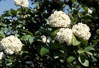 Chinese Viburnum (Viburnum macrocephalum), Adoxaceae.