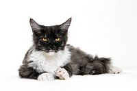 Studio shot of Maine Coon cat.