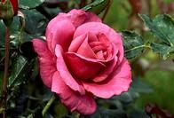 Rose (Rosa Smoking Blue), Rosaceae.
