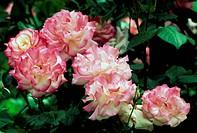 Rose (Rosa Handel Macha), Rosaceae.