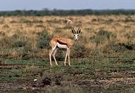 Springbok (Antidorcas marsupialis), Bovidae.