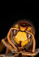 European Hornet macro