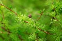 small larix tree leaves close up