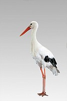 Stork isolated