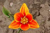 common garden tulip (Tulipa gesneriana), blossom, Netherlands