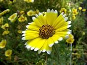 Tidytips, Tidy tip (Layia platyglossa), blooming
