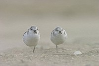 sanderling (Calidris alba), Couple, resting on the beach, Belgium