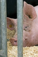 domestic pig (Sus scrofa f. domestica), portrait, lying behind grids in the stable, Belgium