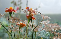 Flowers and seedheads of French marigolds (Tagetes sp.) draped in cobwebs in morning dew.