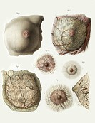 Female breast anatomy. 19th century artworks showing the anatomy of the female breast and the changes that occur to the nipple and areola during pregn...