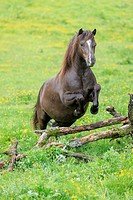 Welsh Mountain Pony (Section A). Chestnut gelding on a pasture jumping over logs. Austria