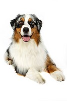 Studio shot of an Australian shepherd.