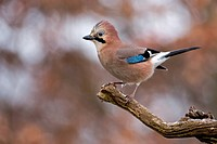 Jay (falco tinnunculus), Middle Elbe Biosphere Reserve, Saxony-Anhalt, Germany