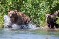 Brown bear (Ursus arctos) mother hunting, Kamchatka, Russia