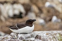 England, Northumberland, Farne Islands, Razorbill, Alca torda, on rock