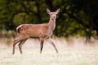 Red deer (Cervus elaphus) hind, Windsor Great Park,England, UK.