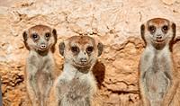 meerkat or suricate, Suricata suricatta, Kgalagadi Transfrontier Park, Kalahari, South Africa, Botswana, Africa - Kgalagadi Transfrontier Park, South ...