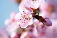 Fruit Tree Blossom