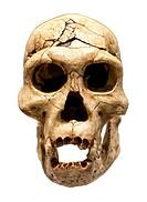 Fossil skull of Homo Erectus