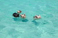 Is this hog heaven? The adorable swimming pigs of Exuma are swiftly becoming the latest social media sensation to hit the net, and a quick YouTube sea...