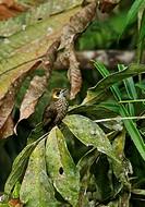 Spot-necked Bulbul (Pycnonotus tympanistrigus) adult, perched on twig, Kerinci Seblat N.P., Sumatra, Greater Sunda Islands, Indonesia, June