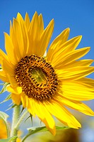 Sunflower (Helianthus annuus), Germany