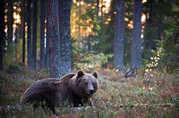 Brown Bear (Ursos arctos), in boreal pinewood in autumn, Finland.
